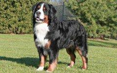 Bovaro Bernese razze di cani