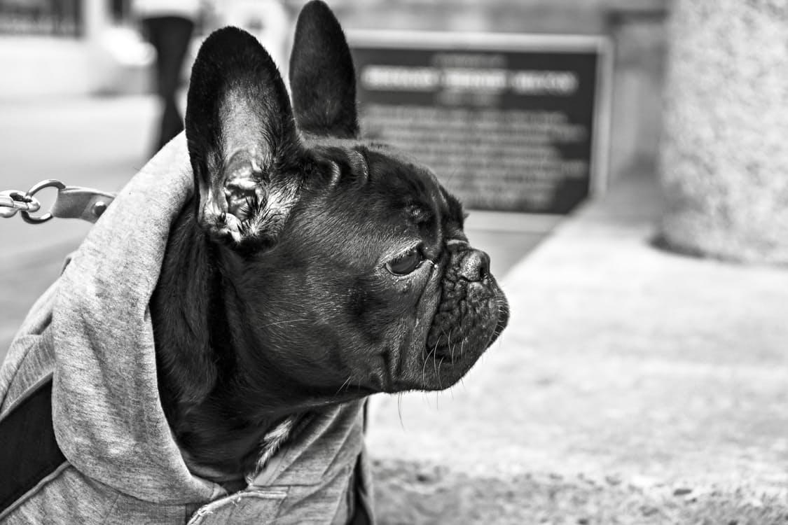 erlichiosi ehrlichiosi dei cani malattie cane