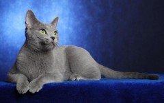 gatto Blu di Prussia razze di gatto gatto blu di russia