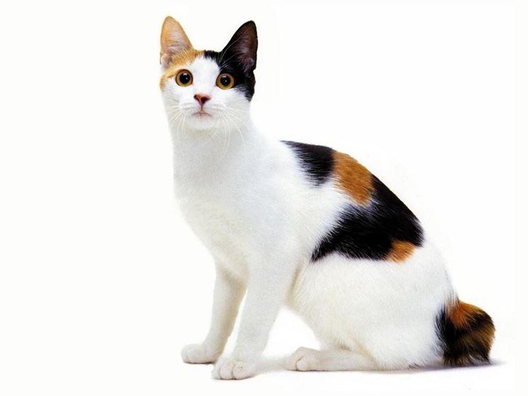 razze di gatto Bobtail Giapponese