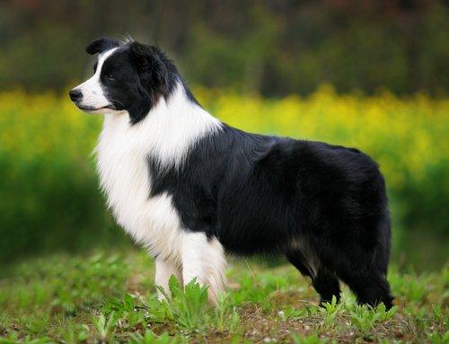 Razas de perros: el Border Collie pastor