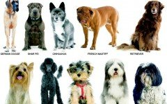 Dog Breeds: information, characteristics and behavor