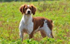 cane Epagneul Breton razze cani