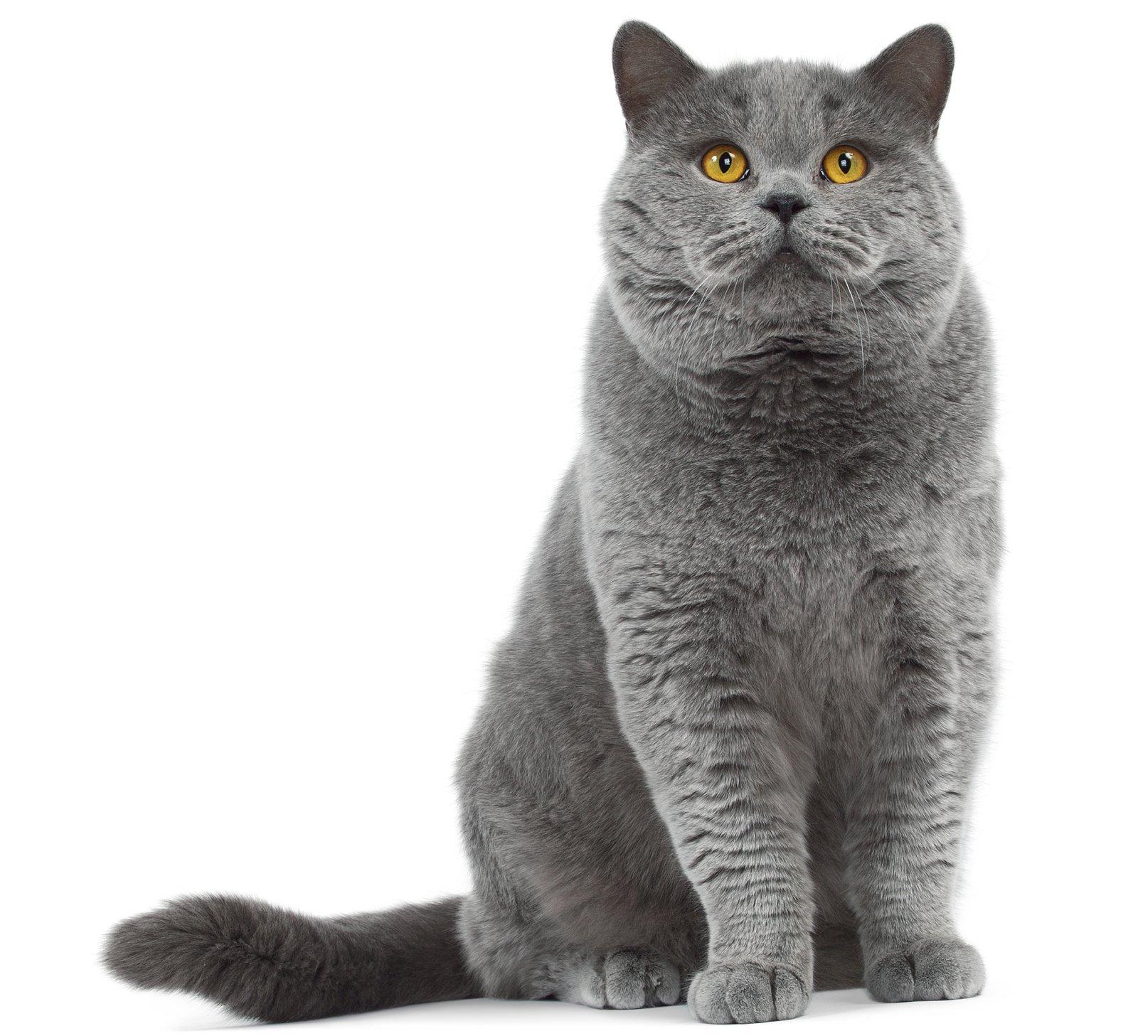 razze di gatti il gatto British Shorthair