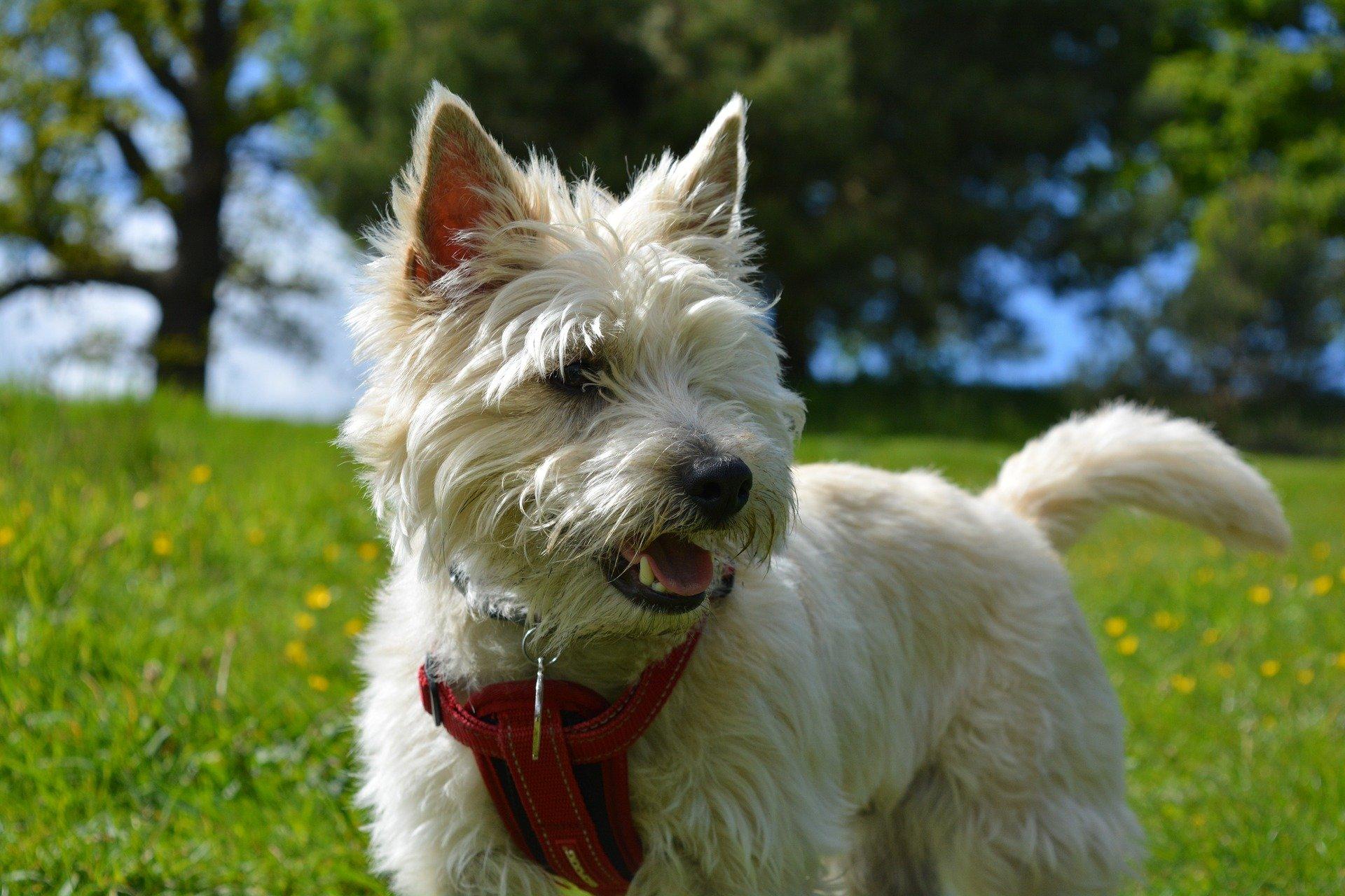 Razze cane: il cane Cairn Terrier