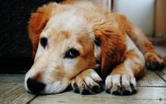 Enfermedades perros: Cáncer en perros perro enfermo