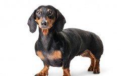 razze di cani cane bassotto