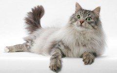 Gatto della Foresta Norvegese razze gatti