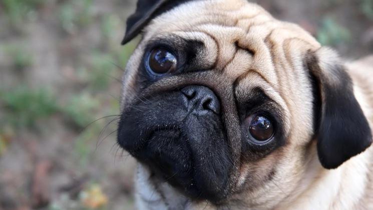 il Cane carlino cani di razza