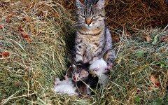 Gestazione gatti e gravidanza dei gatti: tutto quello da sapere