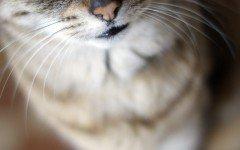 Pene del gatto: curiosità sull'apparato riproduttivo felino