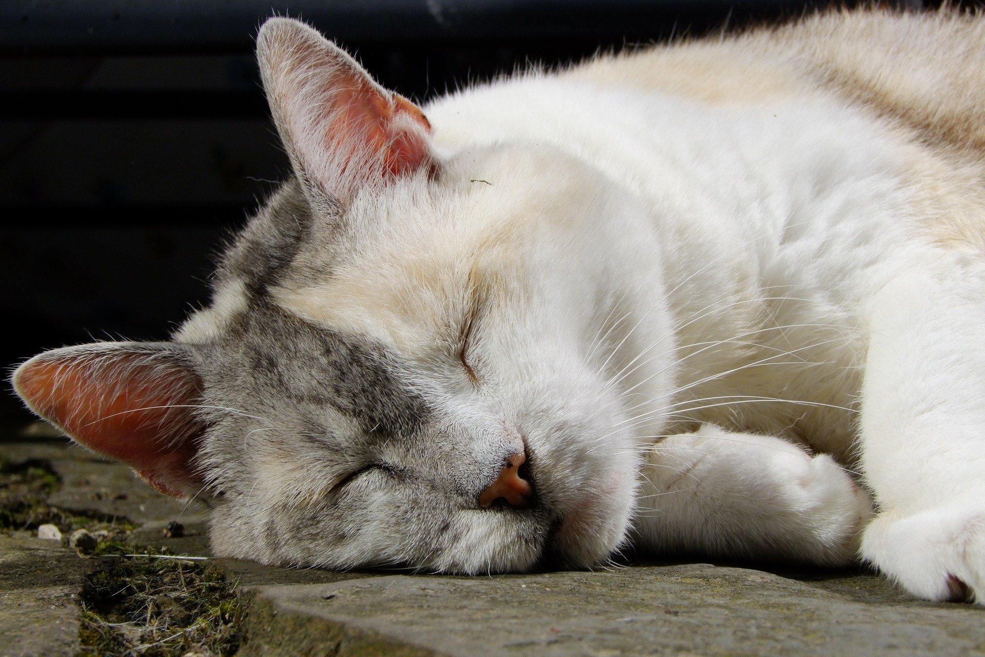 Febbre gatto: tutto quello che c'è da sapere