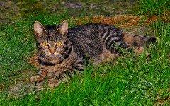 Gatto tigrato: tutto quello che c'è da sapere