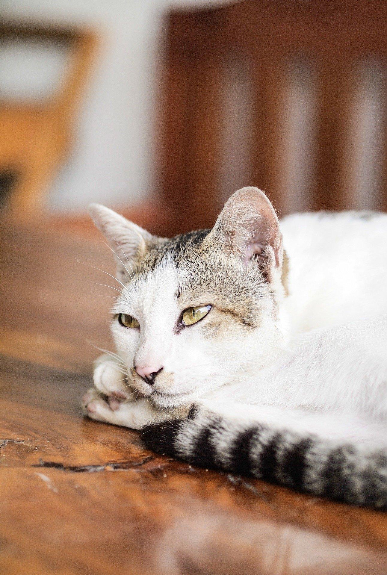 iperadrenocorticismo Malattie del gatto: sindrome di Cushing