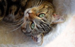 Anatomia di un gatto vediamo com'è formata