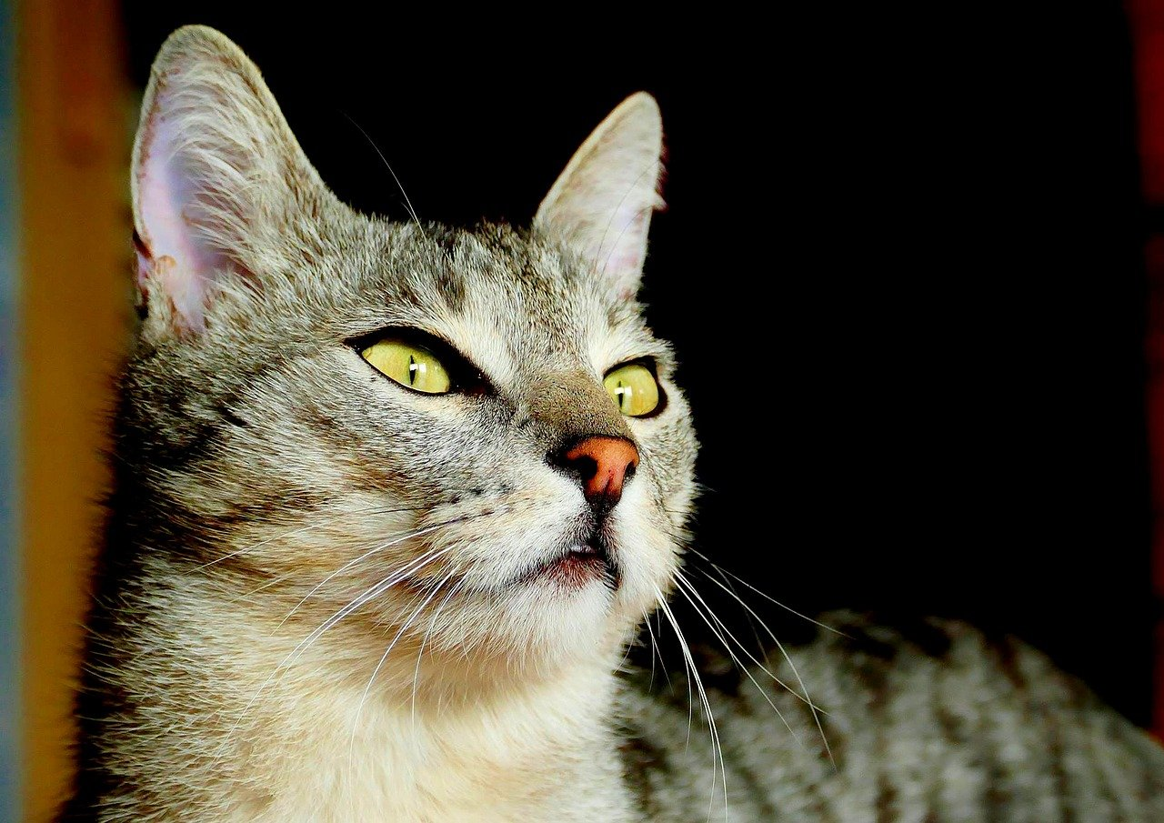 Leucociti nel gatto, cause e come prevenire le malattie