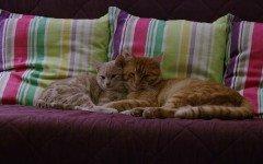 Accoppiamento gatti: tutto quello che c'è da sapere