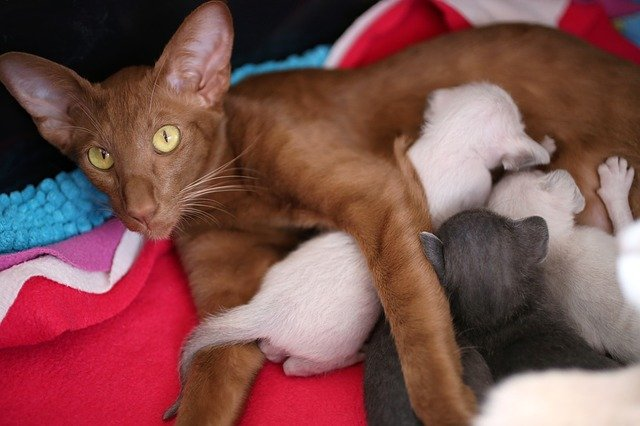 gravidanza dei gatti