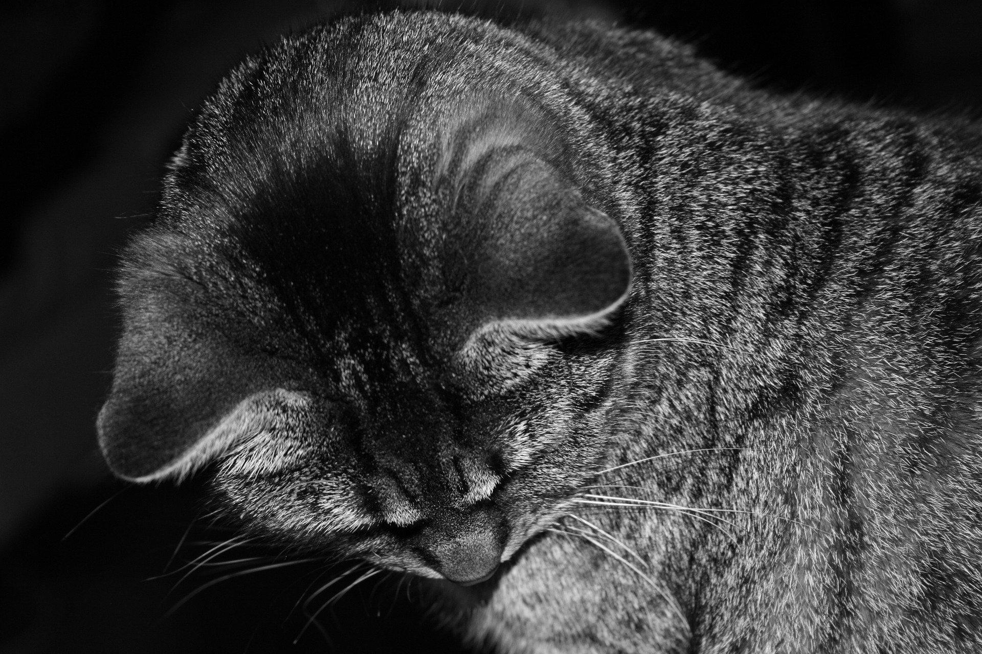 Le orecchie calde di un gatto, cosa vogliono segnalare?