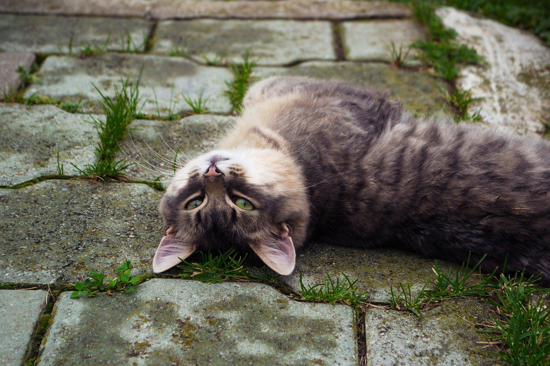 Sognare un gatto grigio, il significato e le ragioni