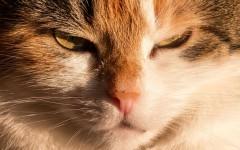 toxoplasmosi nel gatto malattie gatti