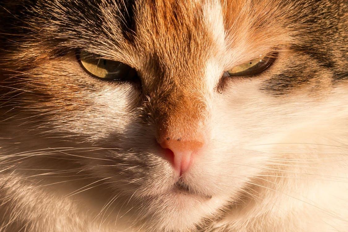 Malattie dei gatti: la toxoplasmosi gatto