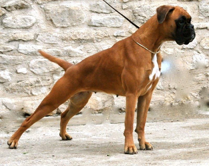 Boxer il cane boxer carattere e prezzo razze dogalize for Casa progetta il trotto del cane