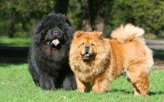 cane Chow Chow razze di cani