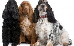 Razas de perros: Cocker Spaniel inglés