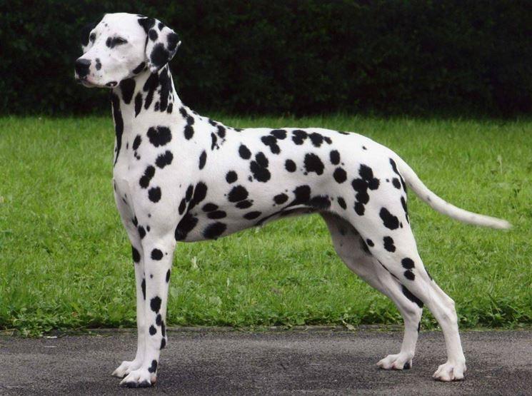 il cane dalmata carattere e prezzo