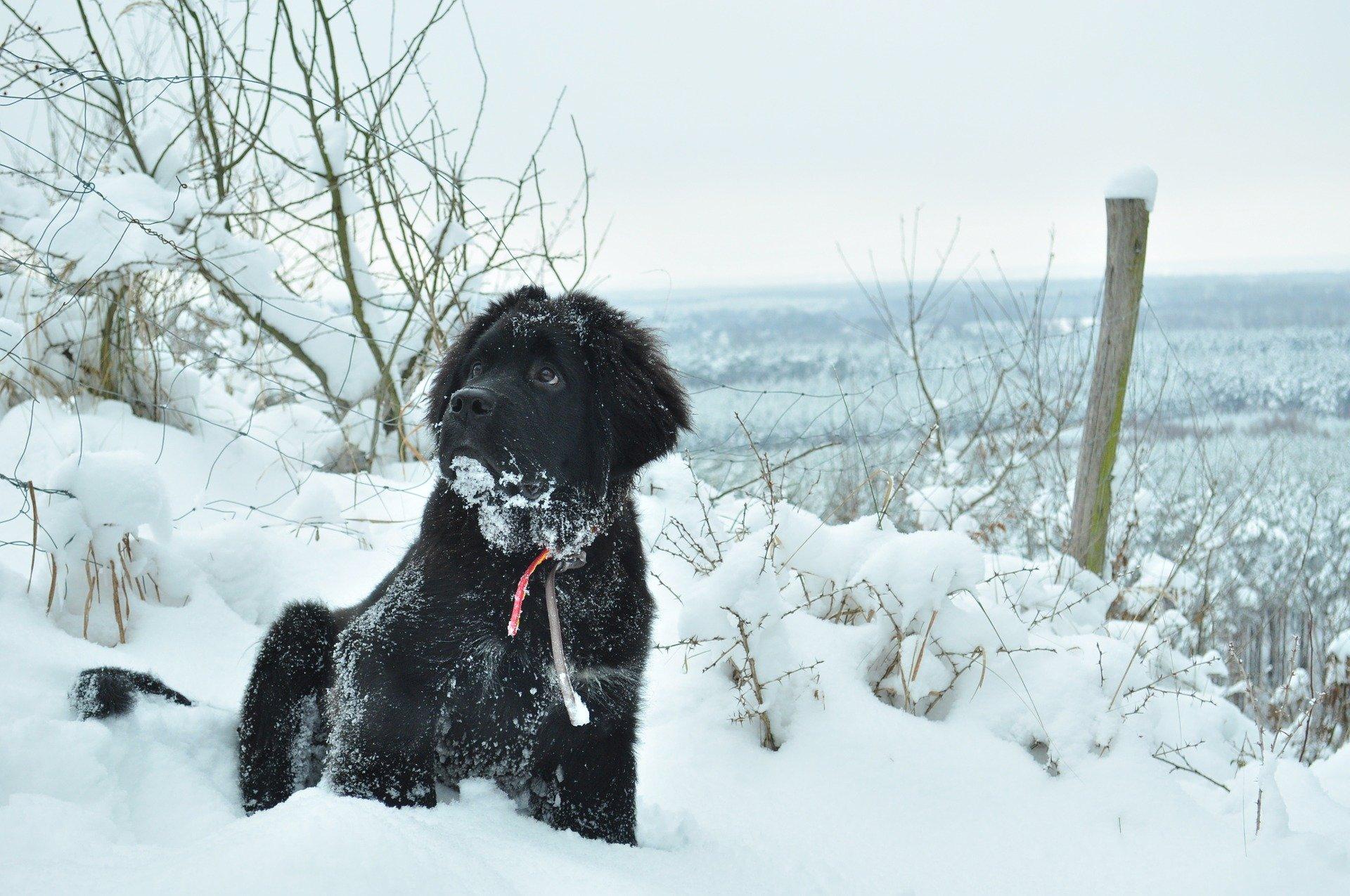 Razze cani: il cane Terranova carattere e prezzo