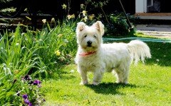 Razze cani: il cane West Highland White Terrier prezzo