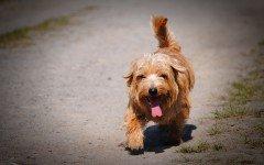 Cani in calore: i sintomi e come aiutarli in questa fase
