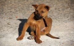 Le pulci del cane: come si diffondono, malattie e prevenzione