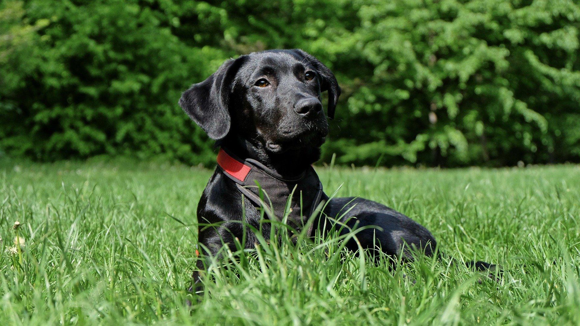 Razze cani: il cane Labrador nero carattere e prezzo