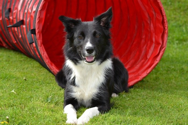 perro border collie
