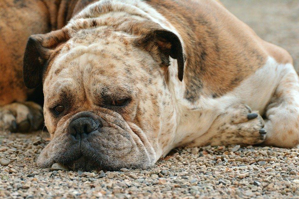 Enfermedades Caninas: Diabetes canina, qué es y cómo evitarla insulina