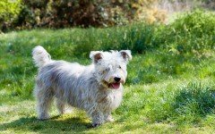 Razze cane: il cane Glen of Imaal Terrier