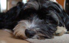 La debolezza nel cane: sintomi e cause