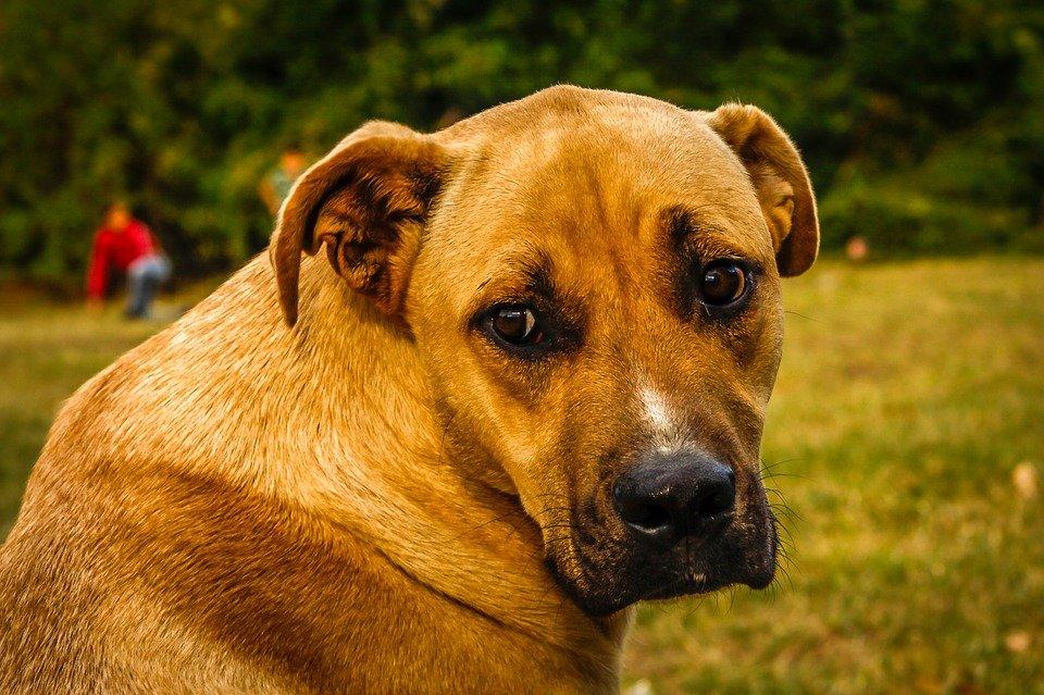Displasia de cadera canina: cómo detectarla y qué hacer obesidad