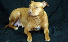 Razze cani: il cane pitbulll carattere e caratteristiche