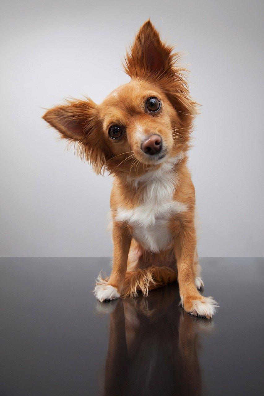 Le otiti da corpo estraneo nei cani: i sintomi e la terapia