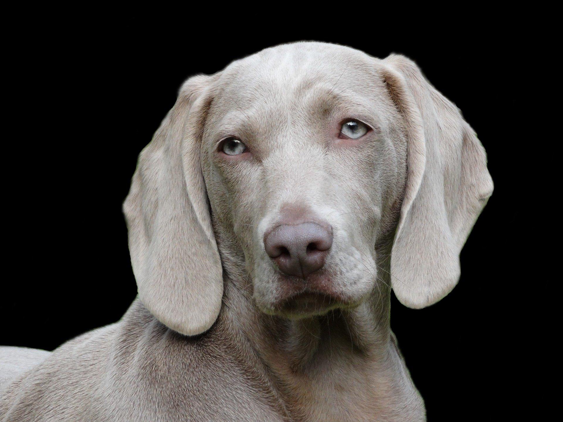 Le malattie dell'apparato riproduttore nei cani: quali sono?
