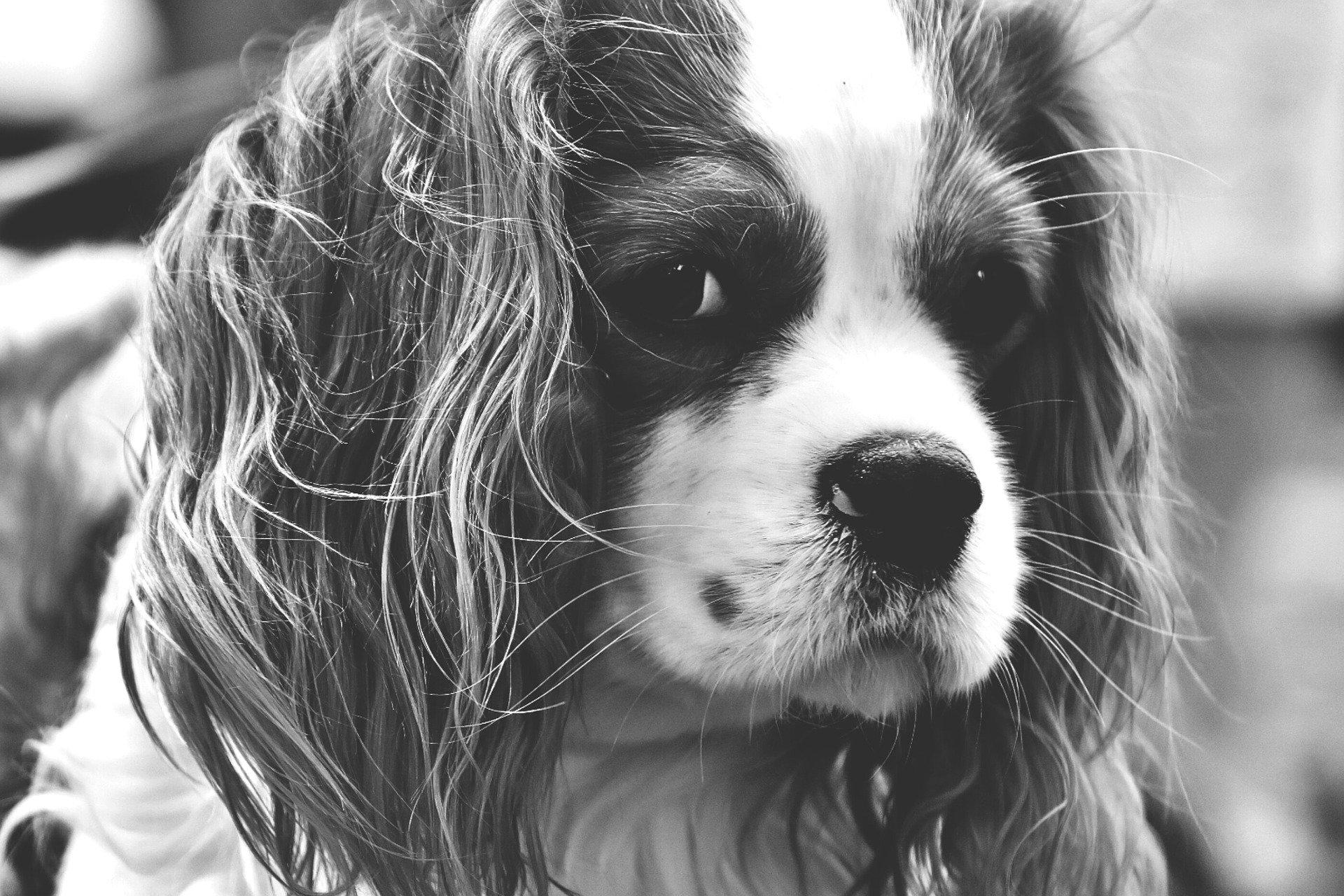 Le malattie dell'apparato respiratorio del cane, diagnosi e trattamento