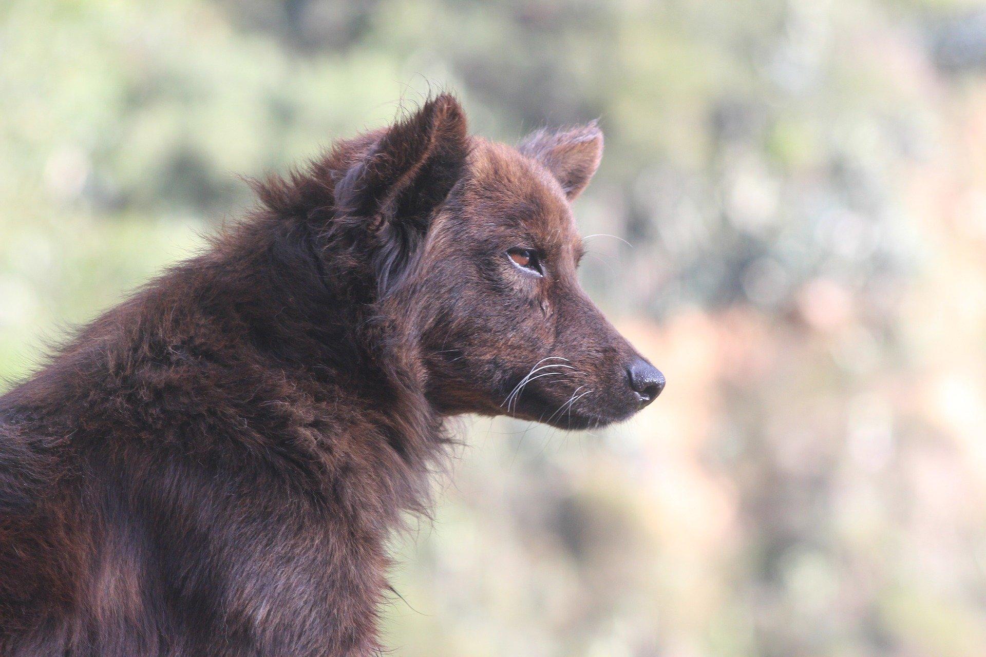 L' acne del cane sintomi, diagnosi e trattamento della malattia