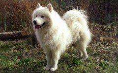 Razze cani: il cane Samoiedo carattere e prezzo