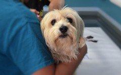 Il deltacortene per i cani e gli effetti collaterali