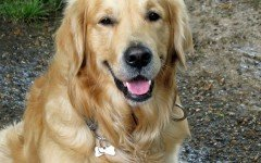 Razze cani Golden Retriever