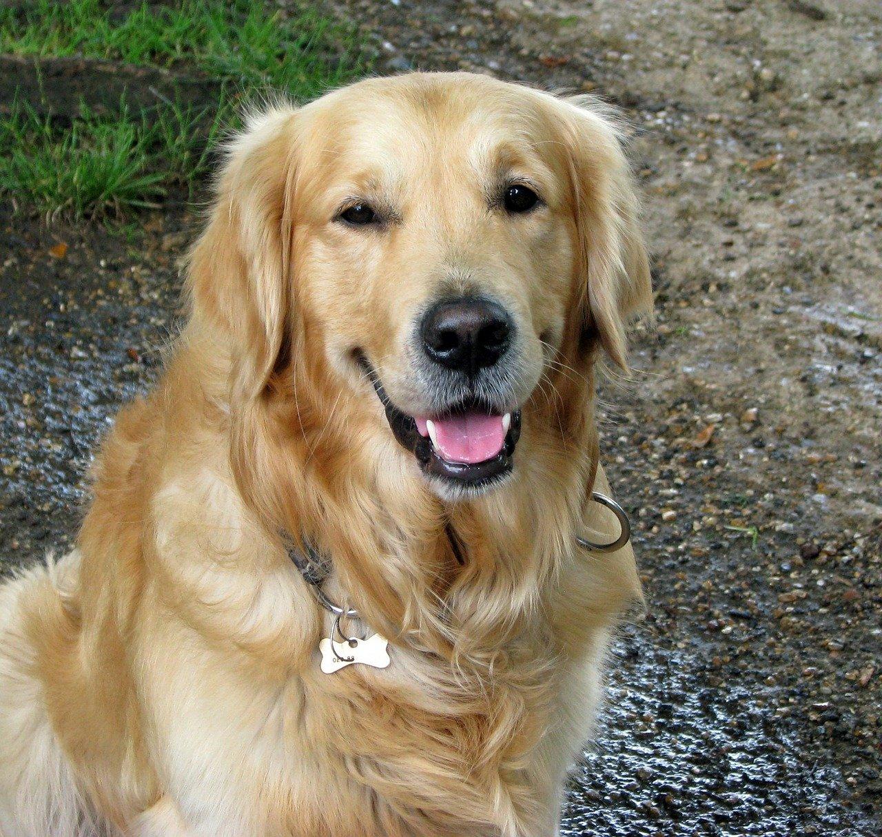 Razze cane: il cane Golden Retriever