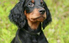 Razze cane: il cane Gordon Setter